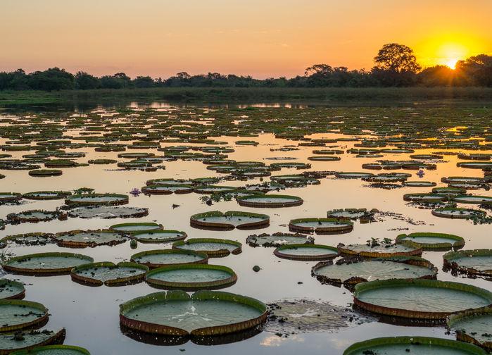 Kjempevannlilje, victoria cruizana, i Pantanal