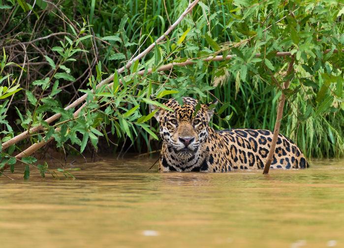 Jaguaren føler seg like hjemme i vannet som på land
